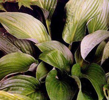 Hosta Blue Blush How Does Your Garden Grow Shade Plants