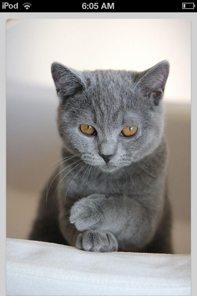 British shorthair!!! Cute cats, Baby cats, Cat personalities
