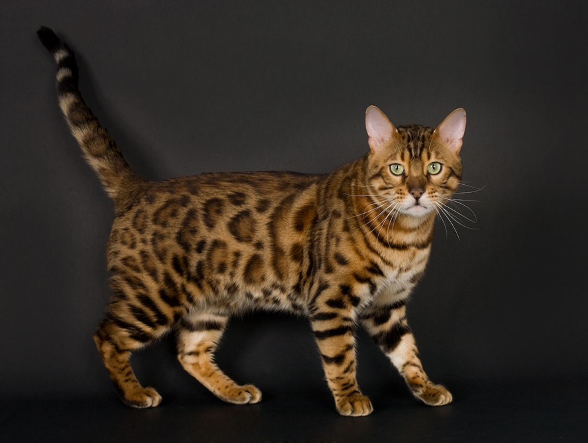The Bengal Is A Hybrid Breed Of Domestic Cat Bengals Result From Crossing A Domestic Feline With An Asian Leopard Cat Breeds Bengal Cat Domestic Cat Breeds