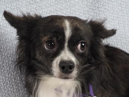 Adopt North A Lovely 1 Year 2 Months Dog Available For Adoption At Petango Com North Is A Chihuahua Long Coat And Is Avai Dog Adoption Chihuahua Rescue Dogs