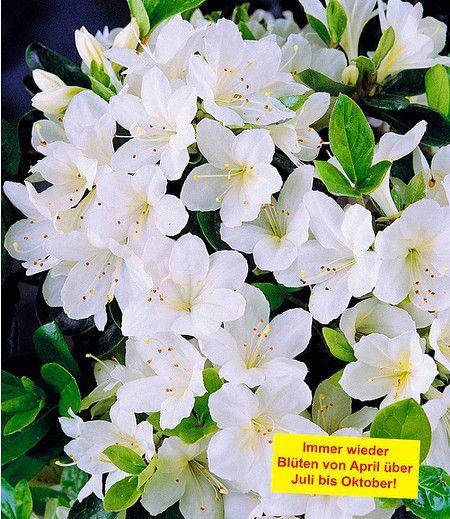 Durchbluhende Azalee Bloom A Thon Weiss 1 Pflanze Prachtige Bloemen Witte Tuinen Planten