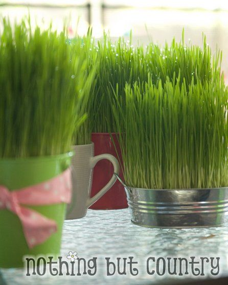 Information On Growing Okra And Harvesting Okra: Great Info On Growing Your Own Wheatgrass. Love How She