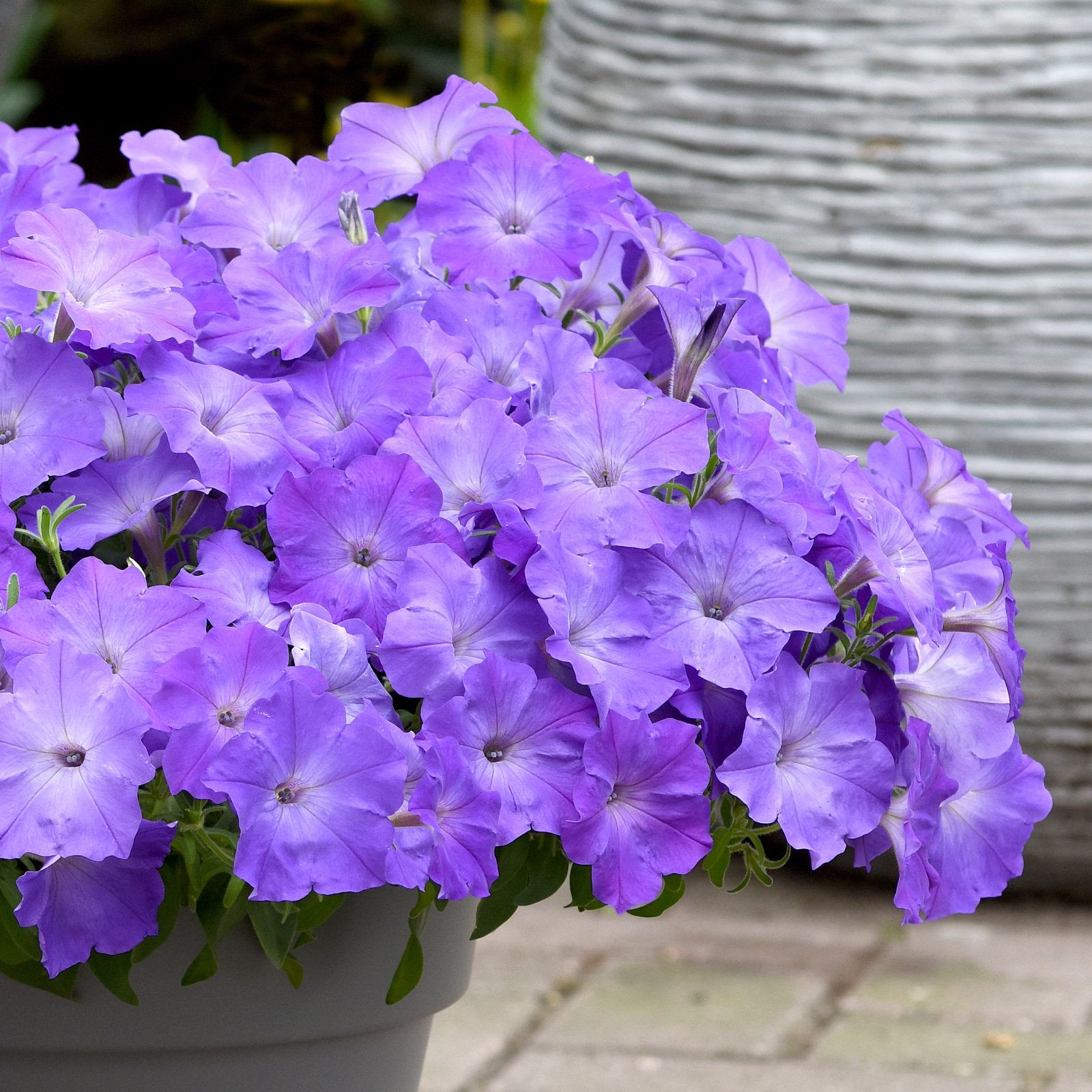 Easy Wave Lavender Sky Blue 25 Pelleted Seeds Pelleted Petunia Seeds In 2020 Petunia Flower Easy Waves Petunias