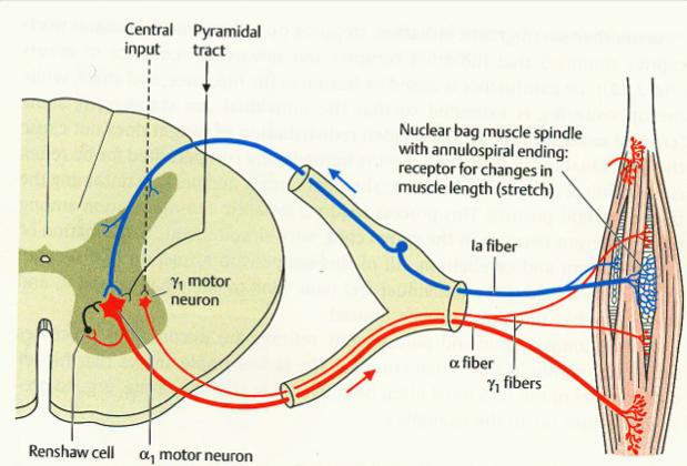 MUSCLE SPINDLE   Neuroanatomy   Pinterest   Muscles