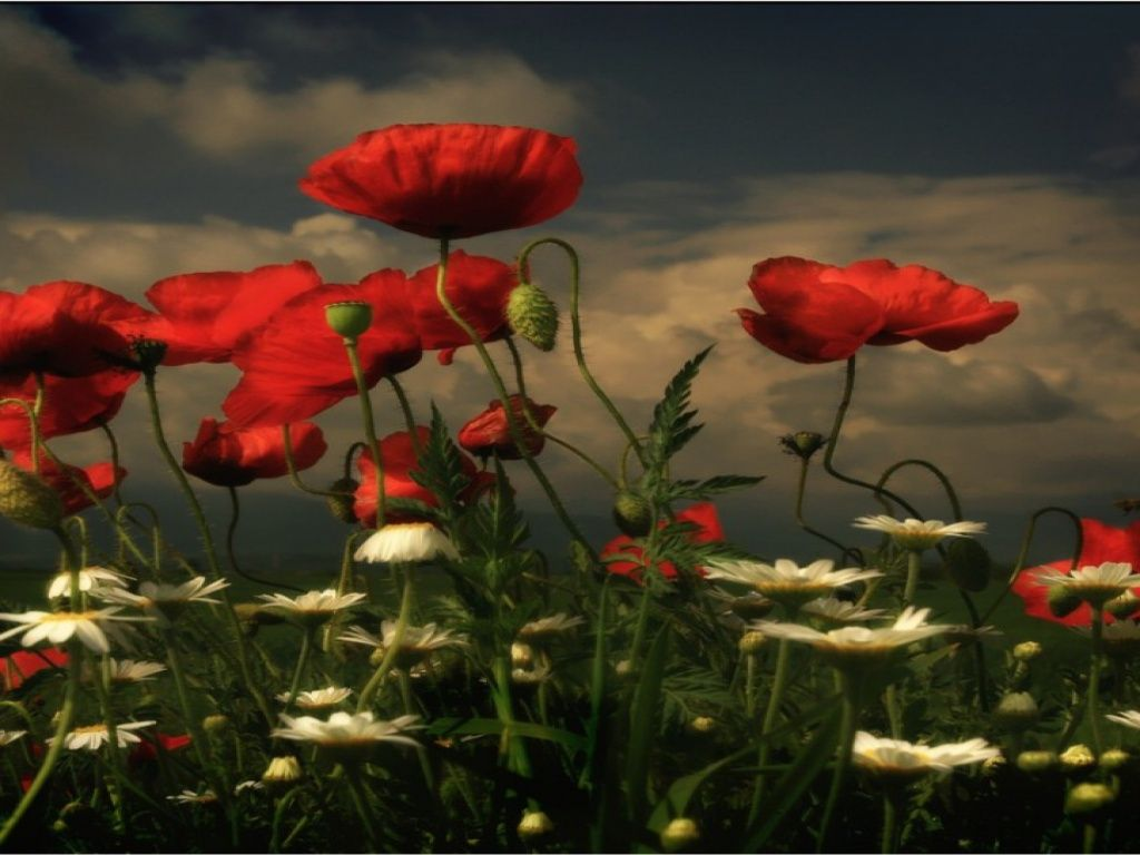 Coquelicots - fonds d'écran gratuit: http://wallpapic.fr/nature/coquelicots/wallpaper-10682