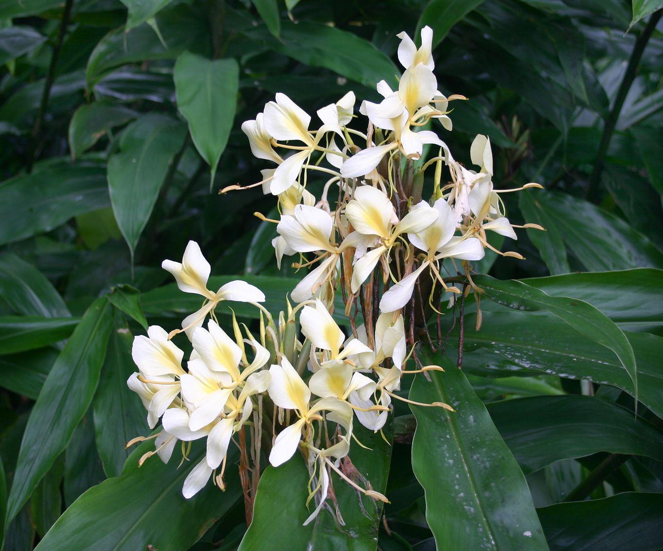 White Ginger Hedychium Coronarium Tiki Tropical Beach