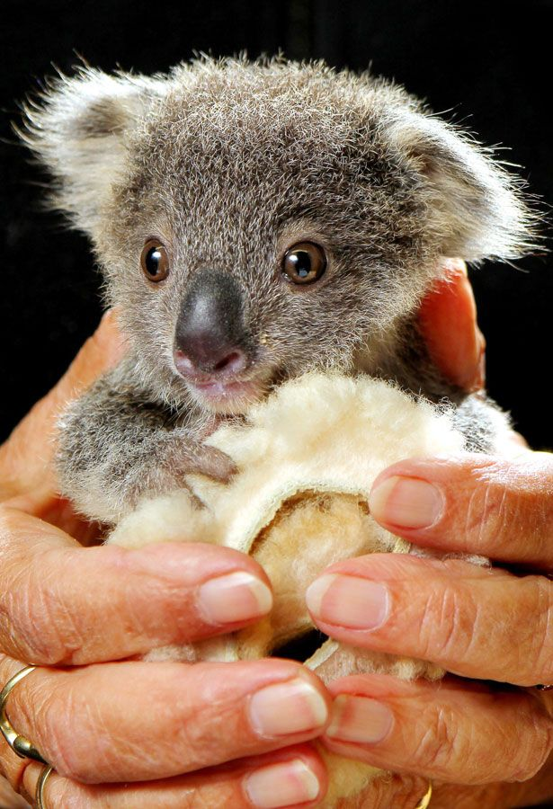 This Orphaned Koala is the cutest thing you will see today