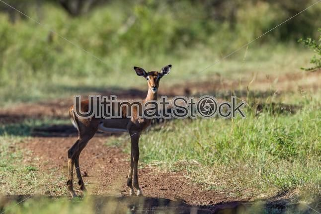 Small Buck Wildlife Animal #stocktravelphotos #ultimatstock #stockimages  #travelphotography