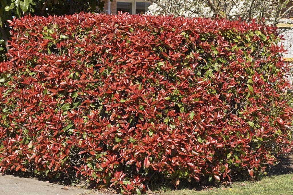 Popular Red Tip Photinias Garden Shrubs Garden Shrubs Plants