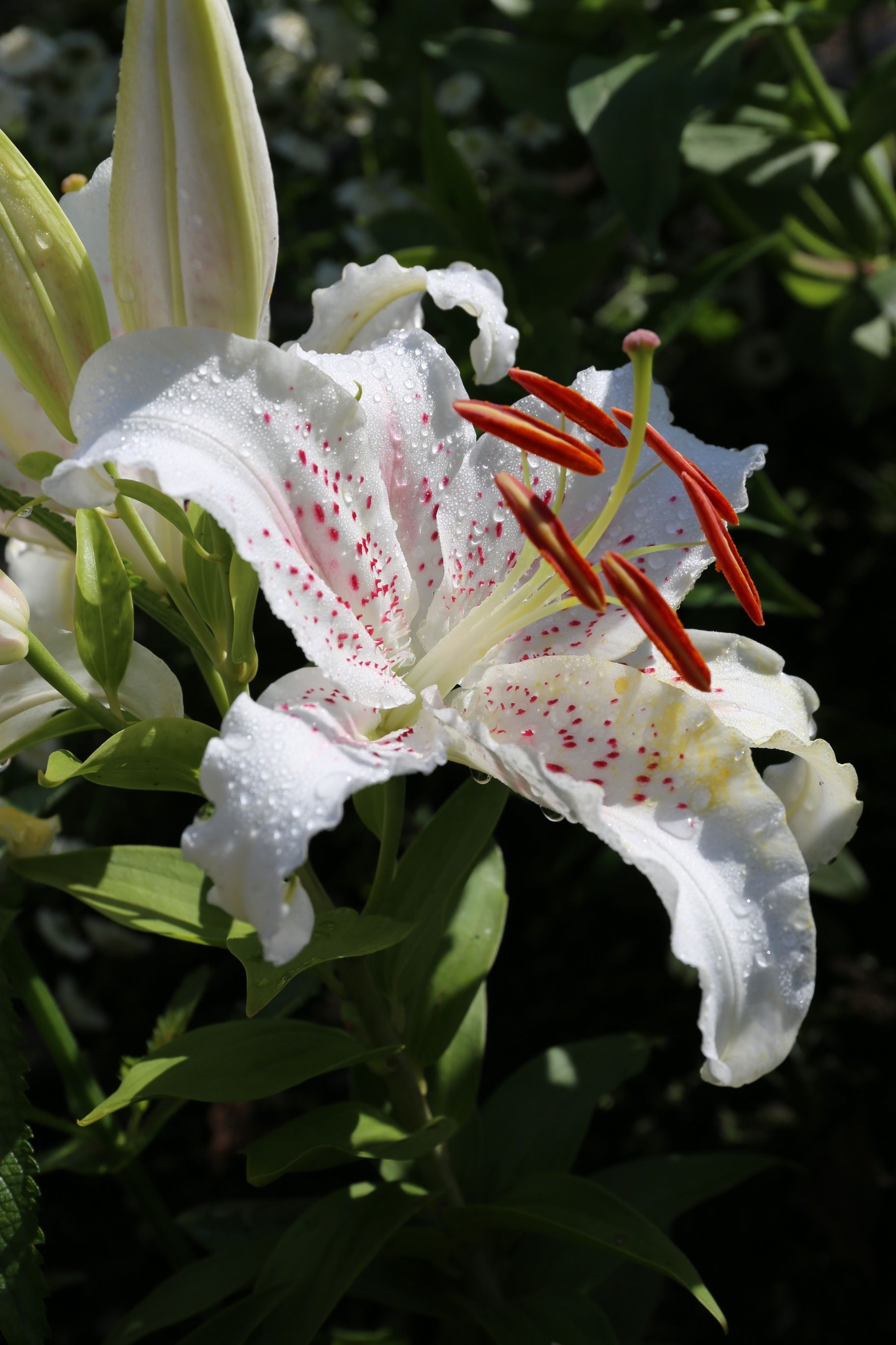 Oriental Lily Muscadet Has A Distinct Look With Large White Flowers