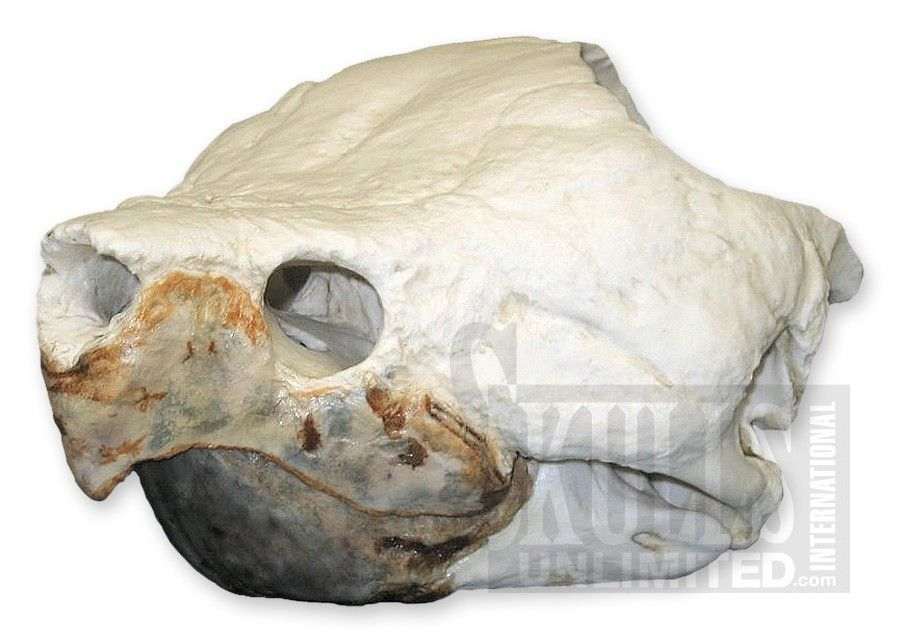 turtle skull - Google Search   Survivor Ideas   Pinterest   Snapping ...