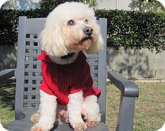 Placentia Ca Bichon Frise Poodle Miniature Mix Meet Jackson