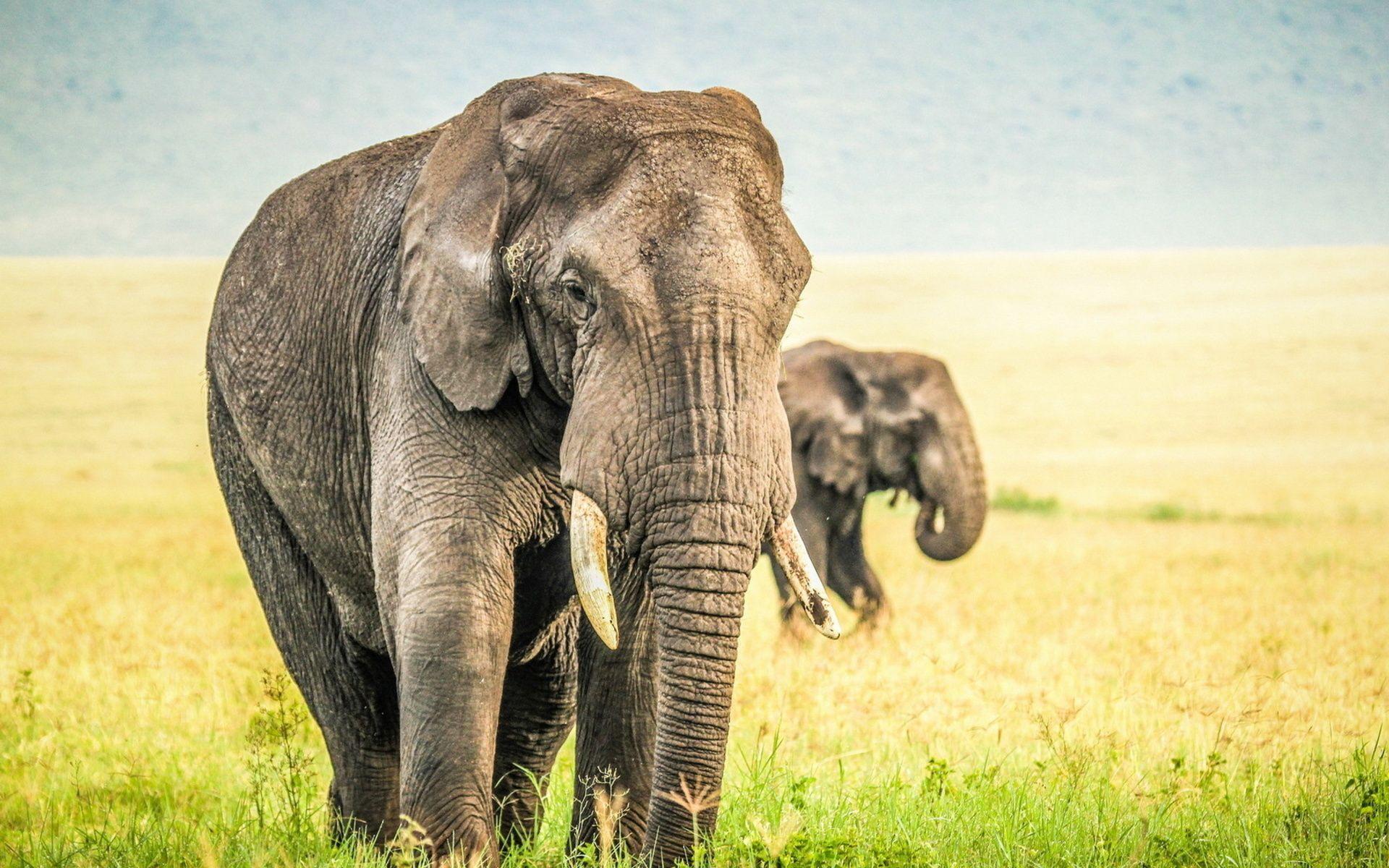 Wallpaper download elephant - Wallpaper Downloads Best Ideas About Elephant Background On Pinterest Iphone