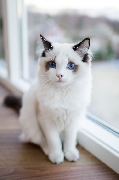 Blue Eyed Beauty Cat Kitty Furry Fluffy Pet Cute Nuttet - This is pam pam the kitten with heterochromia with hypnotic eyes you just cant stop looking at
