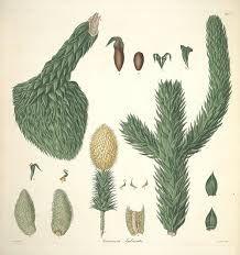 Resultado de imagen para tronco araucaria