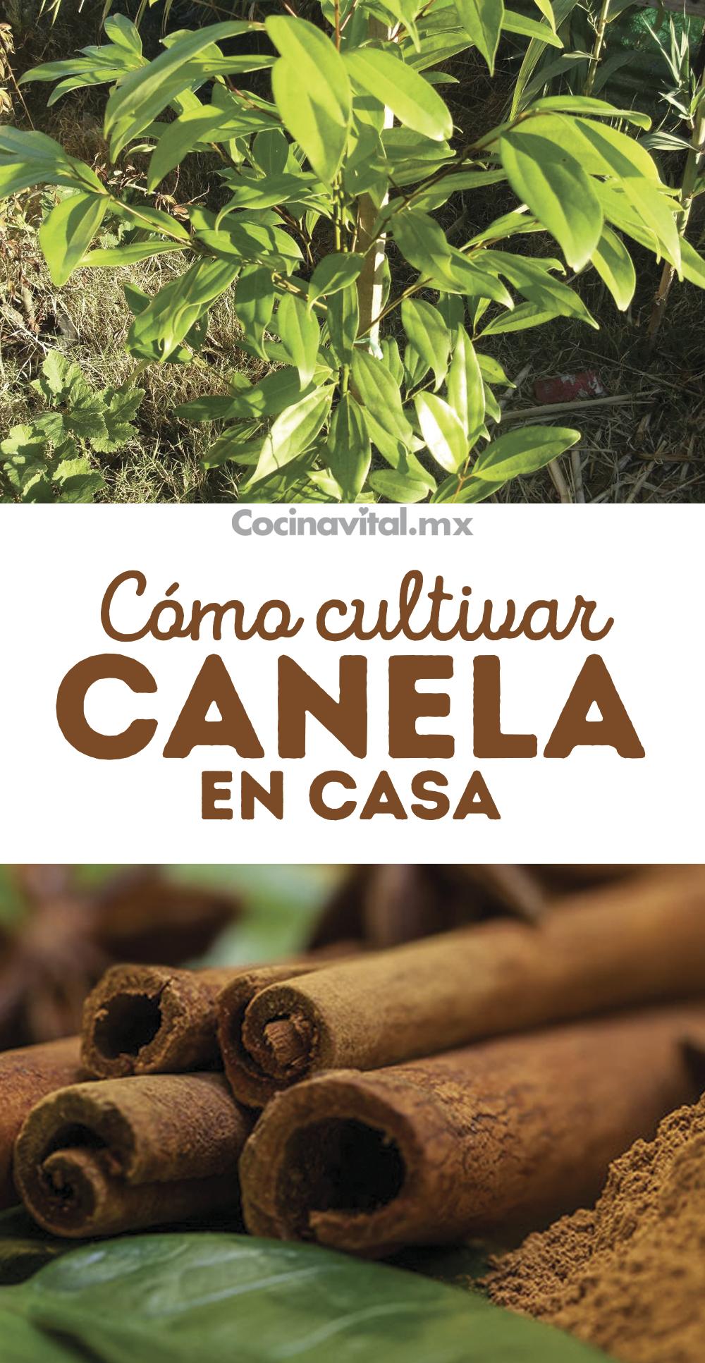 Cómo Cultivar Tu Propia Planta De Canela En Casa Jardineria Y Plantas Cultivo De árboles Frutales Jardín De Productos Comestibles