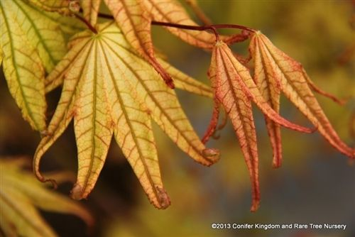 Acer palmatum 'Peaches and Cream' _ Japanese Maple #japanesemaple