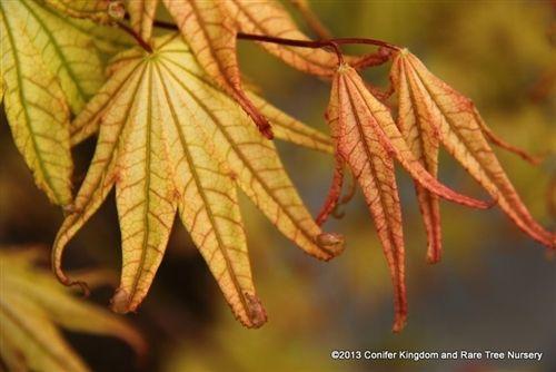 Acer palmatum 'Peaches and Cream' _ Japanese Maple #japanesemaple