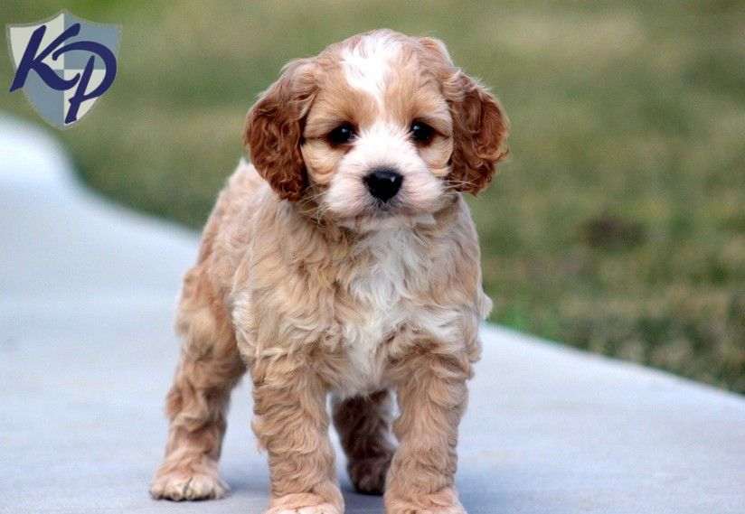 Puppy Finder Find Buy A Dog Today By Using Our Petfinder Cockapoo Puppies For Sale Puppies Cockapoo Puppies