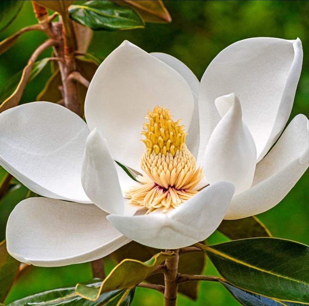 Magickal Magnolia Properties And Uses The Witches Circle Amino In 2020 Magnolia Tree Types Magnolia Trees White Magnolia Tree