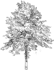 Architecture Tree Sketch Png Max Installer