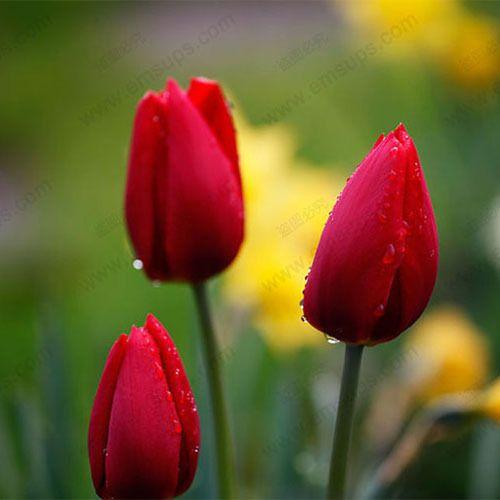 red tulip flower - Pesquisa Google