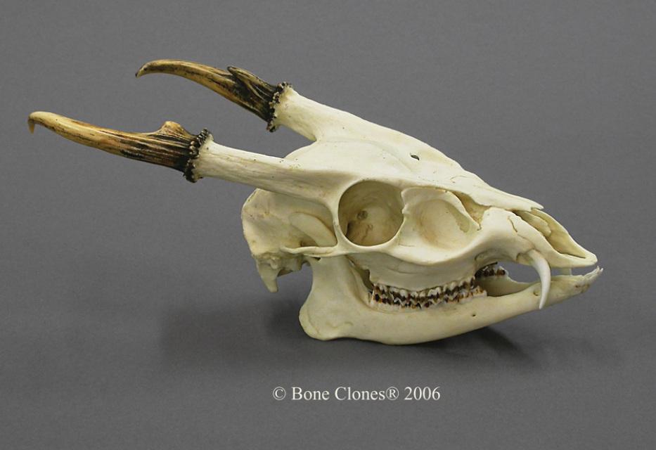 Muntjac Skull Google Search Skull Animal Skeletons Animal Skulls