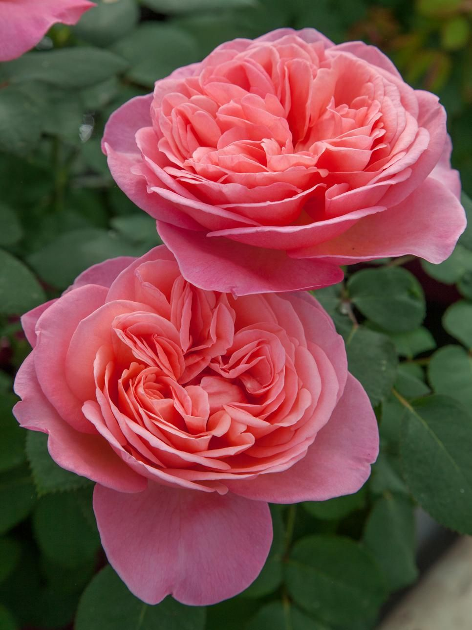 10 gorgeous new roses to grow for 2018 | beautiful flowers