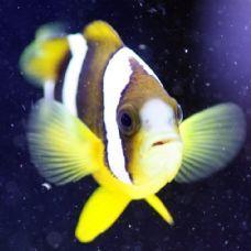 Large Clarks Clown Marine Fish