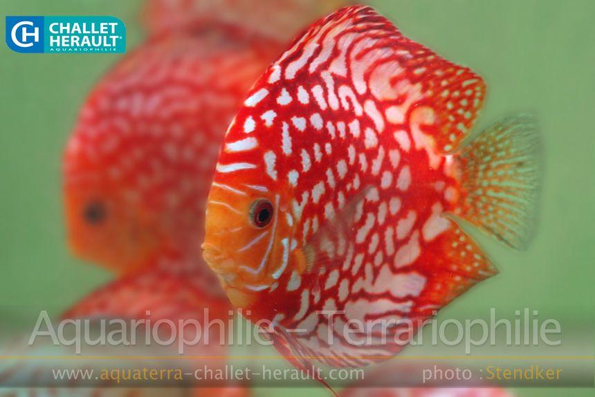 Photos Challet Herault Aquariophilie Terrariophilie Poissons Discus Aquarium Poisson Eaux Douces
