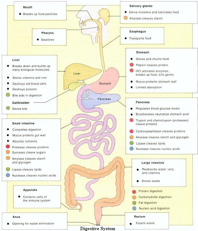 the components and functions of the digestive system | anatomy, Human Body