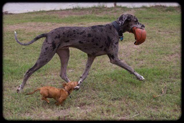 Great Dane Image By Kaya Q On Cutie Patooties Great Dane Dogs