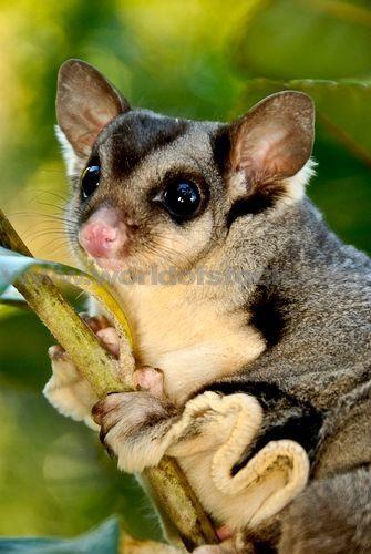 Squirrel Glider   Squirrel Glider Petaurus Norfolcensis Is A Nocturnal Gliding Mammal ...