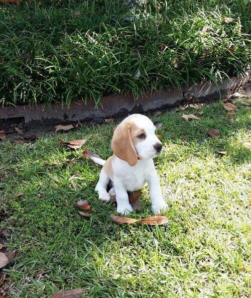 Beagle Puppy 8 Weeks Ol Beagle Puppy 8 Weeks Old Beagle Puppy