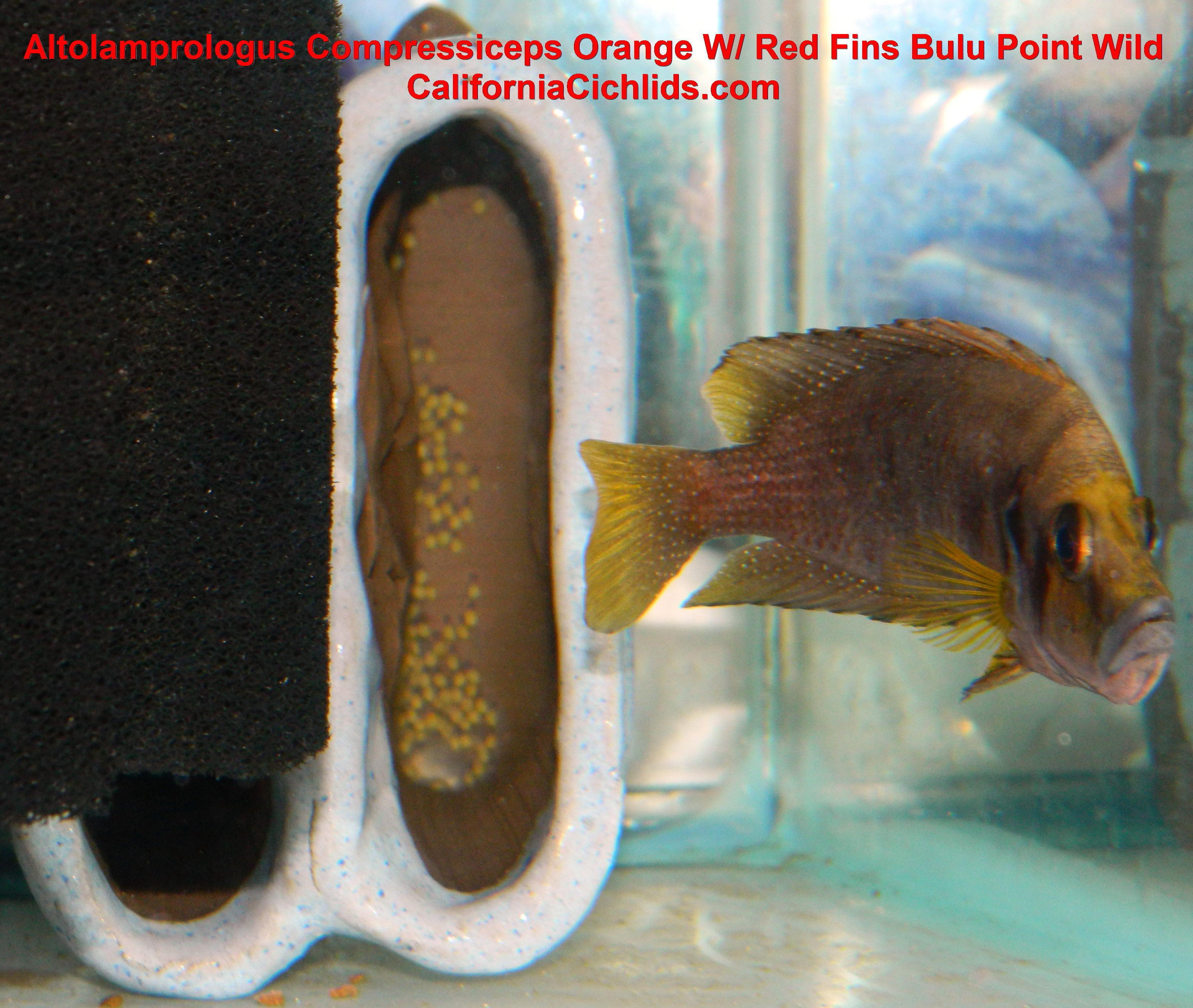 Freshwater aquarium fish silver with red fins - Altolamprologus Compressiceps Orange W Red Fins Bulu Point Wild Californiacichlids Com
