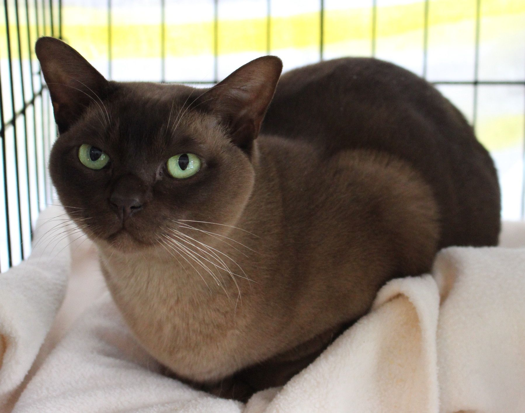 Agatha A Recently Rehomed Burmese Cat Burmese Cat Cats And Kittens Cats