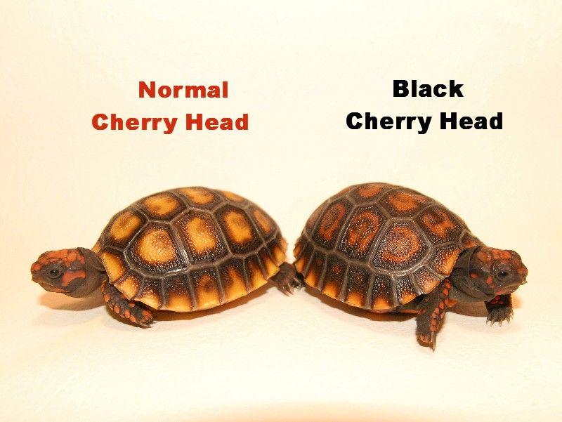 black cherry head red