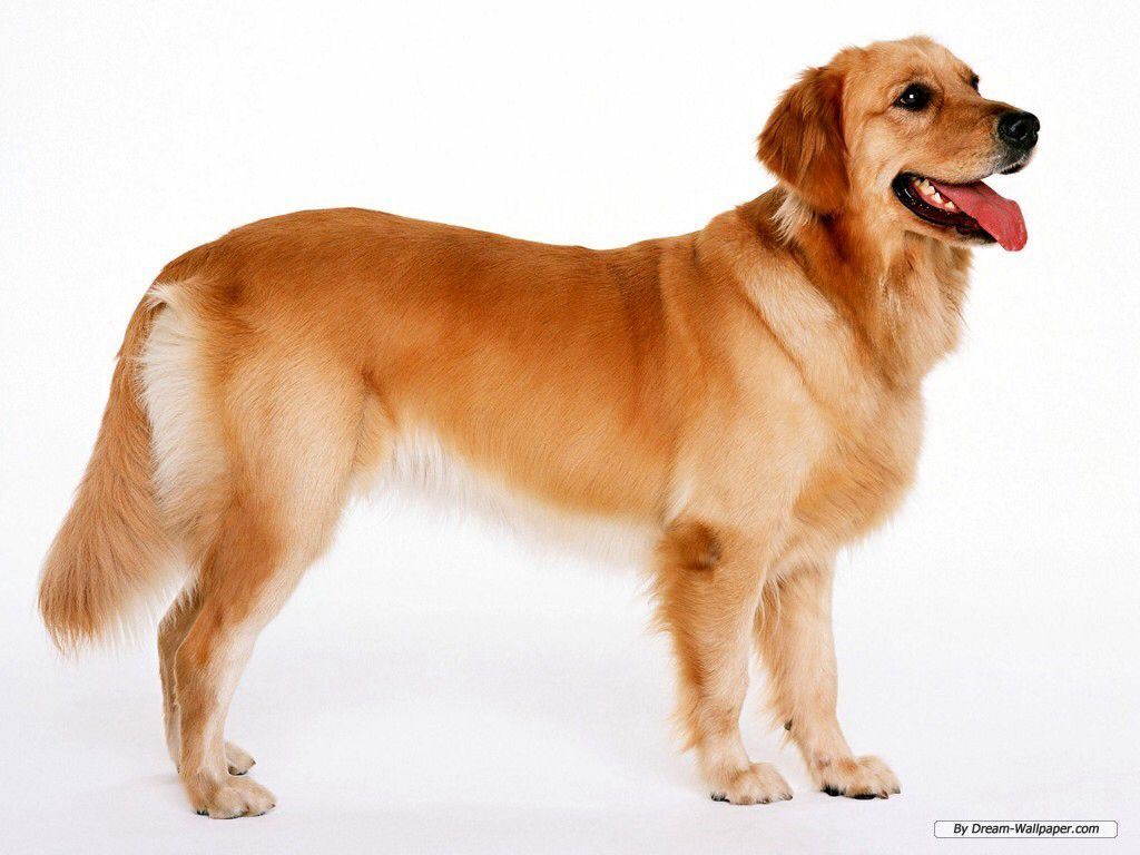 Image From Http Images4 Fanpop Com Image Photos 16700000 Dogs