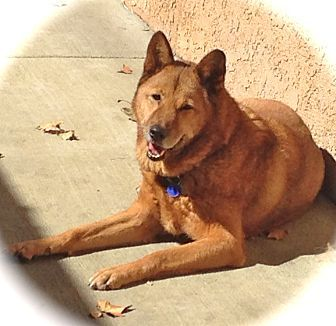 Burbank Ca Jindo Meet Good Looking Diesel A Dog For Adoption Http Www Adoptapet Com Pet