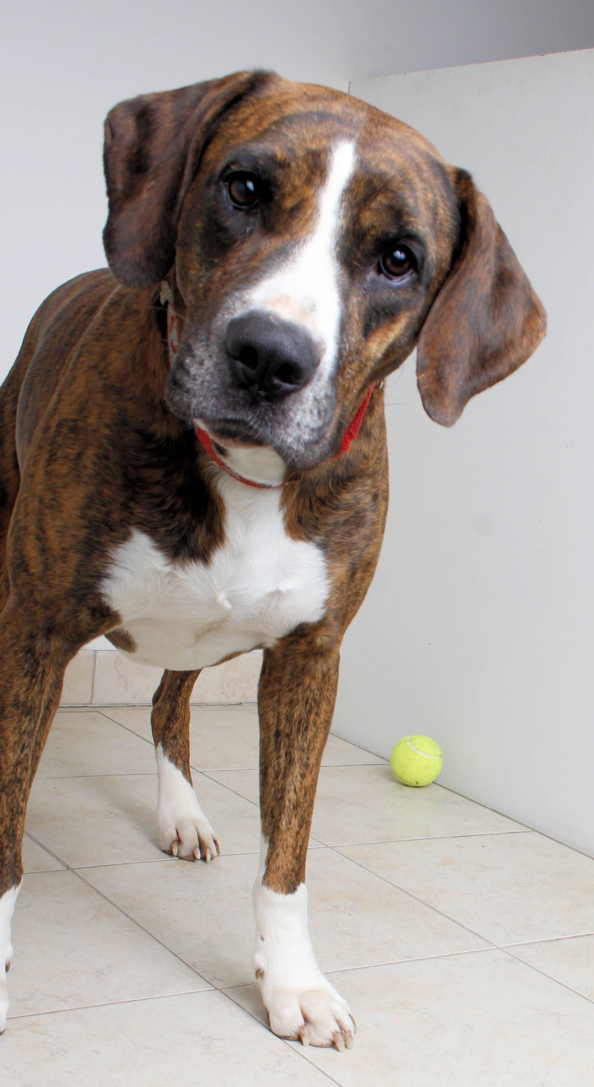 Boxer dog for Adoption in Eden Prairie, MN. ADN743659 on