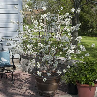 Romeo Dwarf Cherry Edible Fall In Love With This Variety That S Known For Its Cold Hardiness And S Spring Hill Nursery Dwarf Fruit Trees Dwarf Cherry Tree