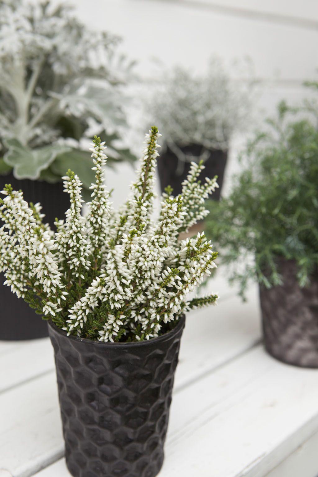 Calluna høstlyng, sølvkrans og vintergrønt https://www.mestergronn.no/
