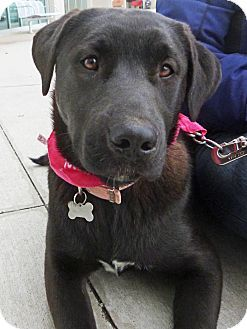 Detroit Michi Gan Pet Finder Young Female How Darling Is This Face Pets Labrador Retriever Dog Friends