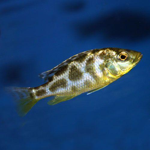 Venustus Cichlids African Cichlid Aquarium African Cichlids