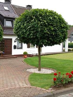 Kugelahorn   Garten, Vorgarten, Bepflanzung