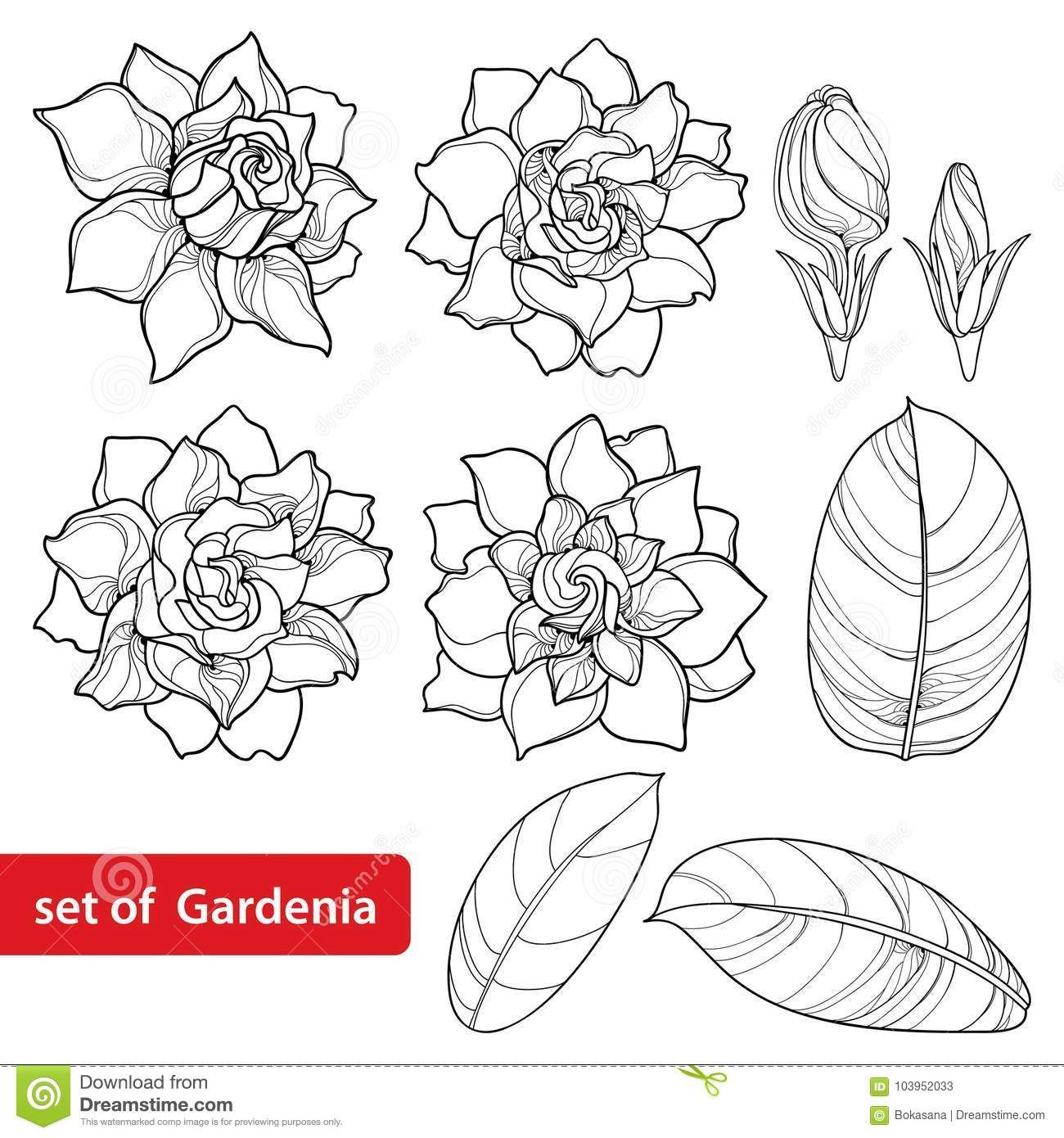 Vector Set With Outline Gardenia Flower Ornate Bud And Leaves In Black Isolated On White Background Stock Vector Il Gardenia Tattoo Flower Drawing Gardenia
