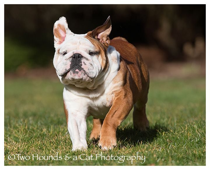 Did Someone Say Lunch Time I Want To Go Too Bulldog Puppies