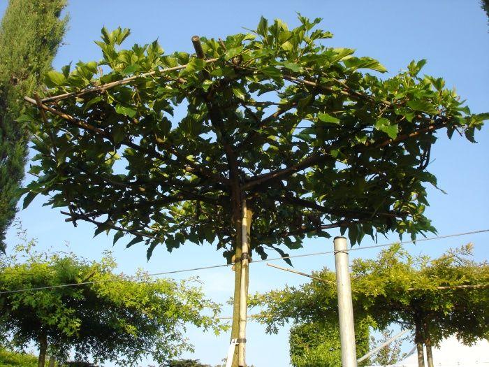 morus alba 39 macrophylla 39 dachf rmig maulbeerbaum garten pinterest steingarten garten. Black Bedroom Furniture Sets. Home Design Ideas