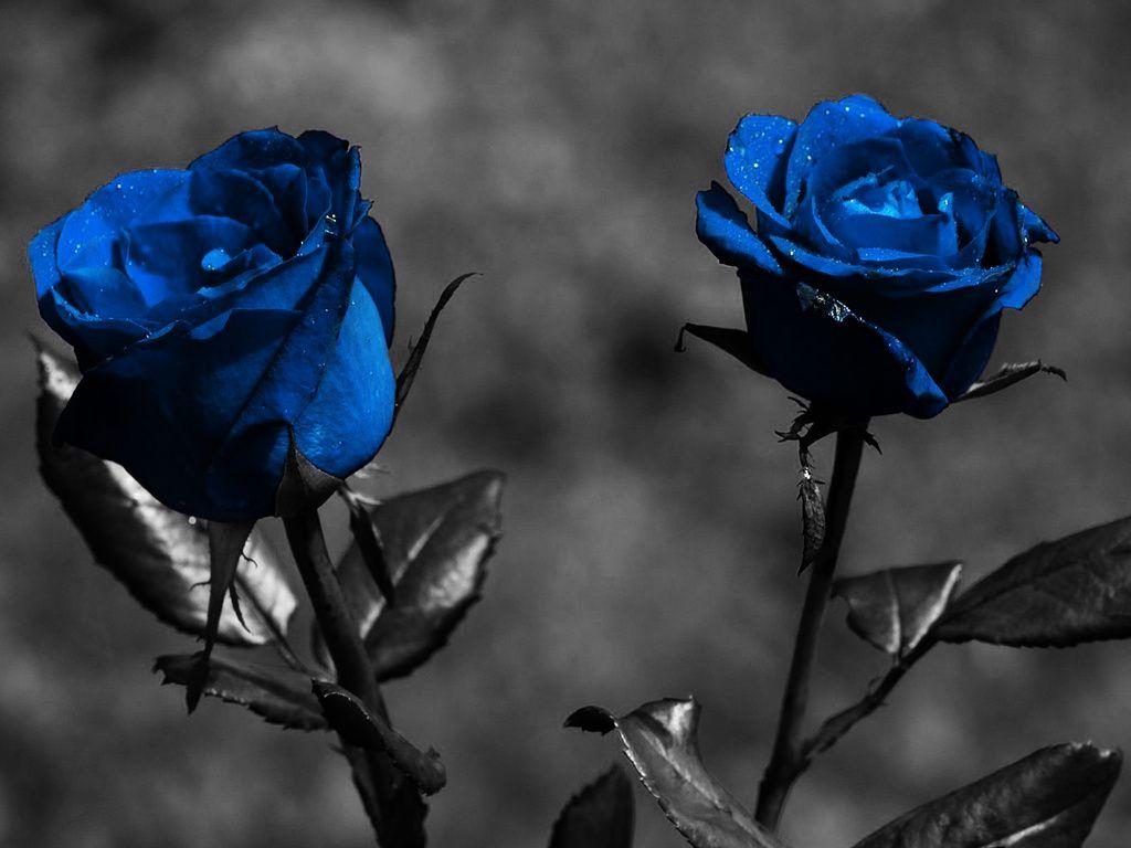 Dark blue flowers color black blue pinterest dark blue dark blue flowers izmirmasajfo