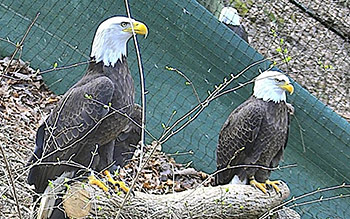 glendagrant350 in 2020 Bald eagle, Eagle nest, Nest cam